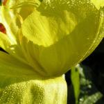 Missouri Nachtkerze Bluete gelb Oenothera missouriensis 02
