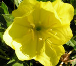 Bild: Missouri Nachtkerze Blüte gelb Oenothera missouriensis