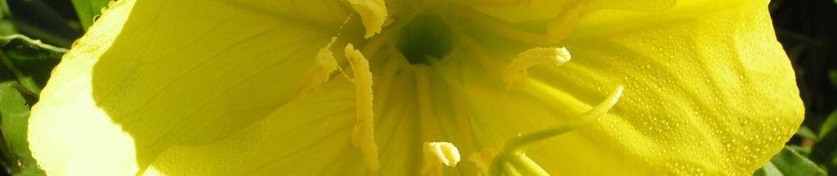 missouri-nachtkerze-bluete-gelb-oenothera-missouriensis