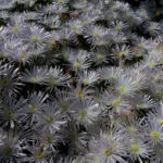 Mittagblume Bluete weiss Delosperma 01