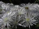 Bild: Mittagsblume Blüte weiß Delosperma