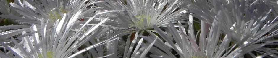 mittagsblume-bluete-weiss-delosperma