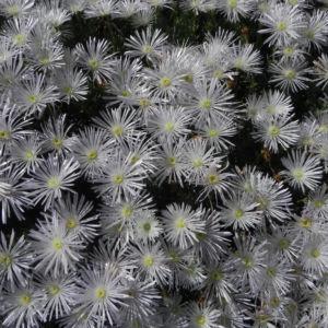 Bild: Mittagblume Bluete weiss Delosperma