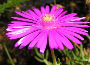Bild: Mittagsblume Bluete leuchtend pink Delosperma aberdeenense