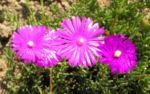 Mittagsblume Bluete leuchtend pink Delosperma aberdeenense 06