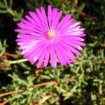 Mittagsblume Bluete leuchtend pink Delosperma aberdeenense 10