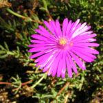 Mittagsblume Bluete leuchtend pink Delosperma aberdeenense 11