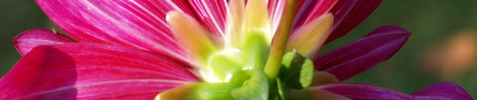 Anklicken um das ganze Bild zu sehen Mittelgroße Anemonen förmige Dahlie Blüte rot Dahlia