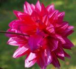 Mittelgrosse Anemonen foermige Dahlie Bluete rot Dahlia 19