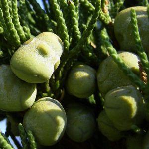 Bild: Mittelmeer Zypresse Cupressus sempervirens