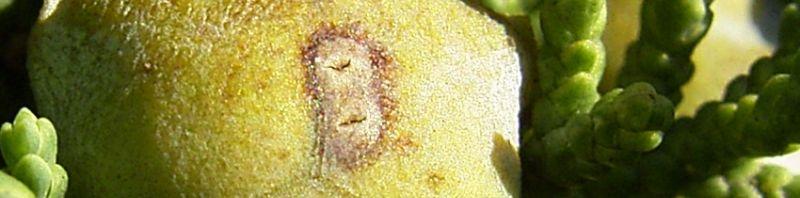 Anklicken um das ganze Bild zu sehen Mittelmeer-Zypresse Cupressus sempervirens