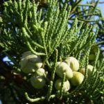 Mittelmeer Zypresse Cupressus sempervirens 03