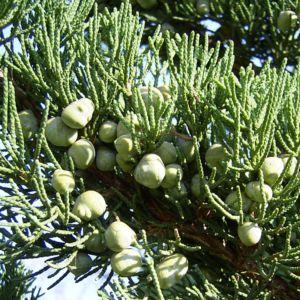 Mittelmeer Zypresse Cupressus sempervirens 04