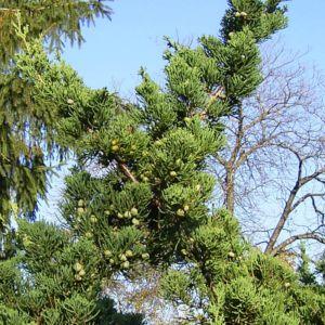 Mittelmeer Zypresse Cupressus sempervirens 06