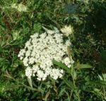Moehre wild Daucus carota 01