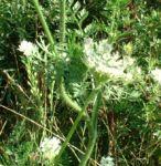 Moehre wild Daucus carota 03