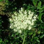 Moehre wild Daucus carota 04