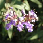 Moenchspfeffer Keuschbaum Bluete Dolde hell pink Vitex agnus castus 02