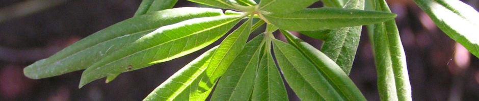 Anklicken um das ganze Bild zu sehen Mönchspfeffer Keuschbaum Vitex agnus castus