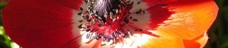 Anklicken um das ganze Bild zu sehen Türkischer Mohn Blüte rot Papaver orientale