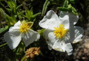 Montpellier-Zistrose Blüte weiß Cistus monspeliensis