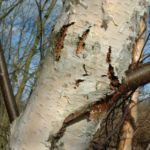 Bild: Moor-Birke Stamm weiß Betula pubescens