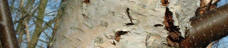 moor-birke-stamm-weiss-betula-pubescens