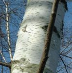 Moorbirke Stamm Betula pubescens 02