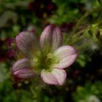Bild: Moos-Steinbrech Blüte rosa rot Saxifraga arendsii hybriden