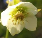 Morgenlaendische Nieswurz Bluete weisslich Helleborus orientalis 01