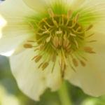 Morgenlaendische Nieswurz Bluete weisslich Helleborus orientalis 03