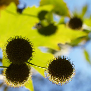 Morgenlaendische Platane Baum Frucht Blatt gruen Platanus orientalis 01