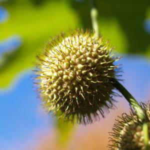 Morgenlaendische Platane Baum Frucht Blatt gruen Platanus orientalis 02