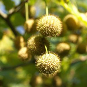 Morgenlaendische Platane Baum Frucht Blatt gruen Platanus orientalis 03