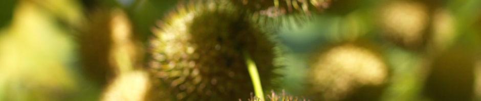 morgenlaendische-platane-frucht-blatt-gruen-platanus-orientalis