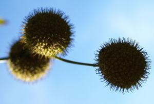 Morgenlaendische Platane Baum Frucht Blatt gruen Platanus orientalis 04