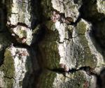 Morgenlaendische Platane Baum Frucht Blatt gruen Platanus orientalis 06