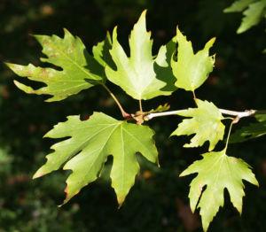 Bild: Morgenlaendische Platane Baum Frucht Blatt gruen Platanus orientalis