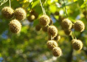 Morgenlaendische Platane Baum Frucht Blatt gruen Platanus orientalis 08