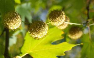 Morgenlaendische Platane Baum Frucht Blatt gruen Platanus orientalis 09