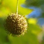 Morgenlaendische Platane Baum Frucht Blatt gruen Platanus orientalis 12