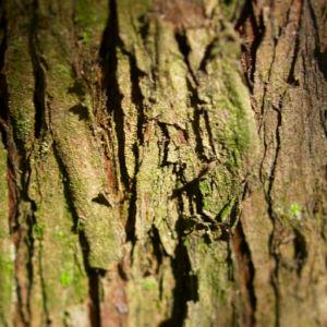 Morgenlaendischer Lebensbaum Frucht blaugruen Platycladus orientalis 07