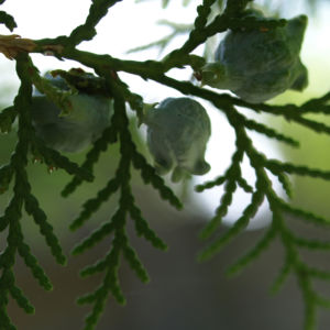 Morgenlaendischer Lebensbaum Frucht blaugruen Platycladus orientalis 09