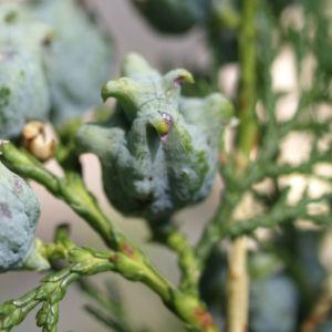 Bild: Morgenlaendischer Lebensbaum Frucht blaugruen Platycladus orientalis