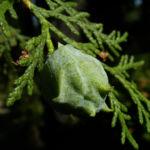 Morgenlaendischer Lebensbaum Thuja orientalis 01