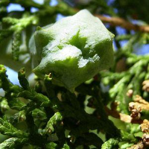 Morgenlaendischer Lebensbaum Thuja orientalis 02