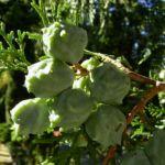 Morgenlaendischer Lebensbaum Thuja orientalis 04