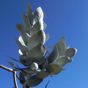 Mottlecah Mudelka Eukalyptus Blatt silber gruen Eucalyptus macrocarpa 09