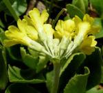 Muenchener Aurikel Bluete hellgelb Primula auricula 05