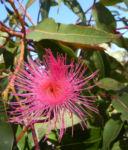 Mugga Eukalyptus Bluete pink Eucalyptus sideroxylon 08